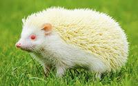 белый ёжик альбинос фото