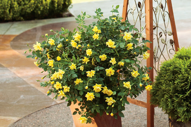 Oso Easy Lemon Zest rose from Proven Winners ColorChoice