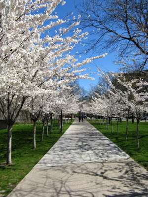 Allee of Prunus serrulata flowering Japanese cherries in bloom outside of Robarts Library by garden muses: a Toronto gardening blog