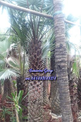 Jual Palm Copernis
