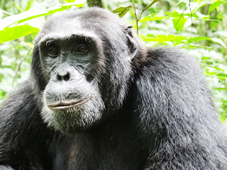 Affordable Gorilla Trekking Uganda Tours & budget Bwindi safaris from $490.00 per person. Contact gorilla tracking Uganda for discounts and Bwindi permits