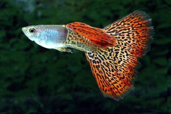aquarium fishes:  fish breeding at home