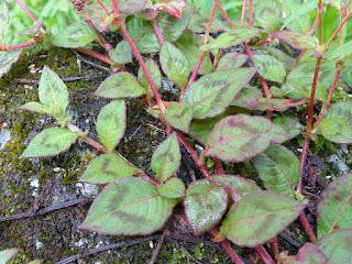 Renouée capitée - Persicaire arrondie - Persicaria capitata