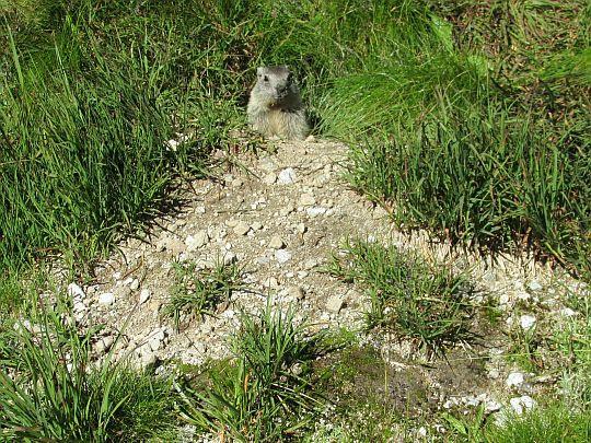 Świstak tatrzański (Marmota marmota latirostris).