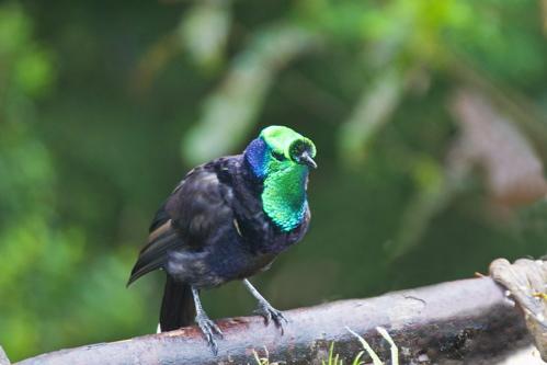 Astrapia Ribbon-tailed (Astrapia mayeri)