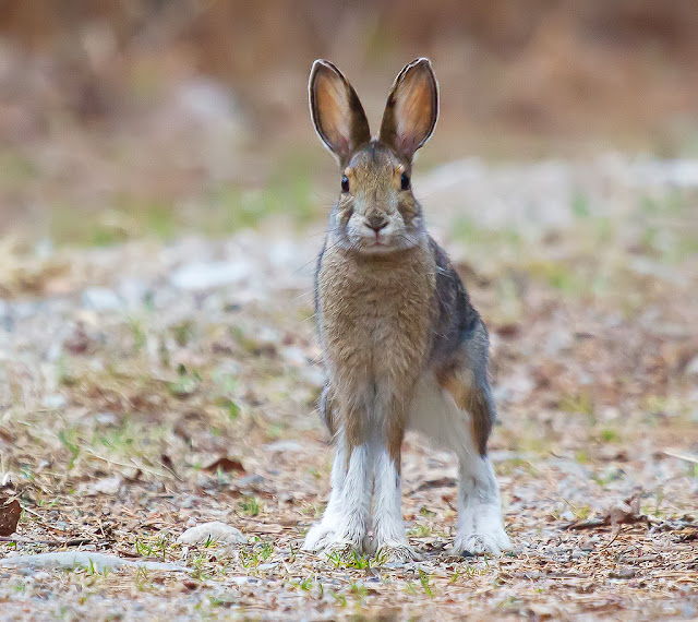 Snowshoe Hare facts and information 1