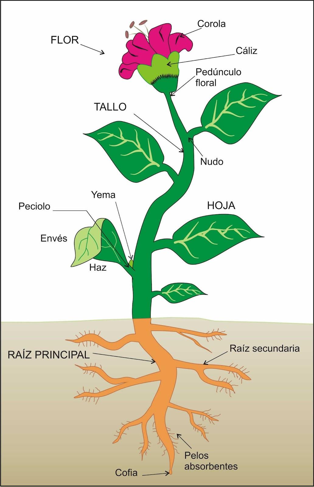Blog de los ni os plantas for Cuales son las partes de un arbol