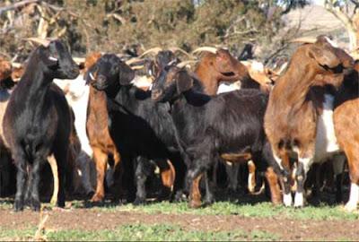 rangeland goat, rangeland goats, about rangeland goat, rangeland goat appearance, rangeland goat breed, rangeland goat characteristics, rangeland goat breed information, rangeland goat photos, rangeland goat pictures, rangeland goat breeding, rangeland goat feeding, raising rangeland goat