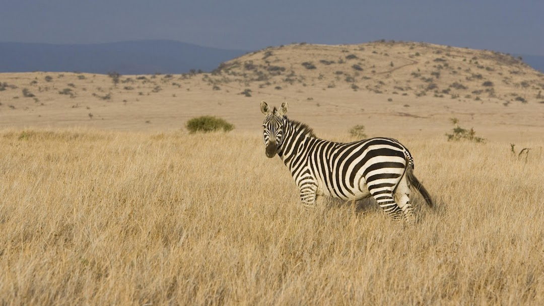 Zebra HD Wallpaper 7