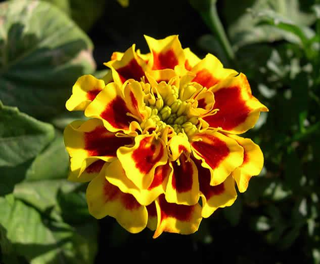 Sarı çiçekli oda çiçekleri: isimleri ile fotoğraf