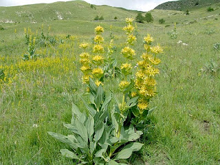 Yellow Gentian Herb