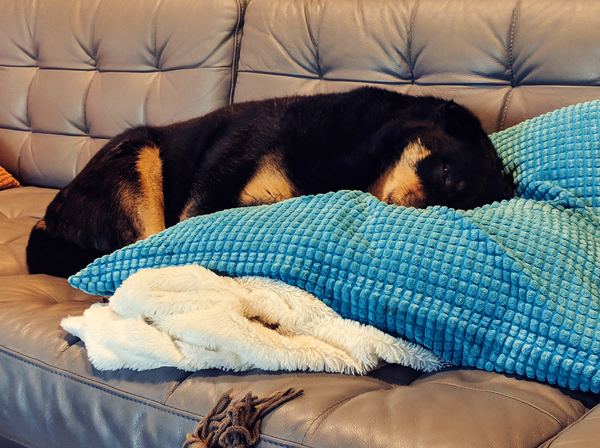 image of Zelda the Black and Tan Mutt lying on the couch, with her face snuggled into a pillow