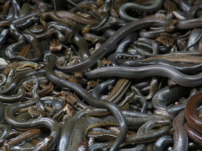 cobra snake invasion yenagoa bayelsa