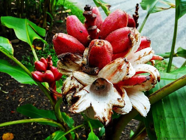 Musa velutina = Musa dasycarpa, czyli różowy bananowiec. Nazwa, pochodzenie, historia, opis, wygląd, kwitnienie, kwiaty, owoce, rozmnażanie.