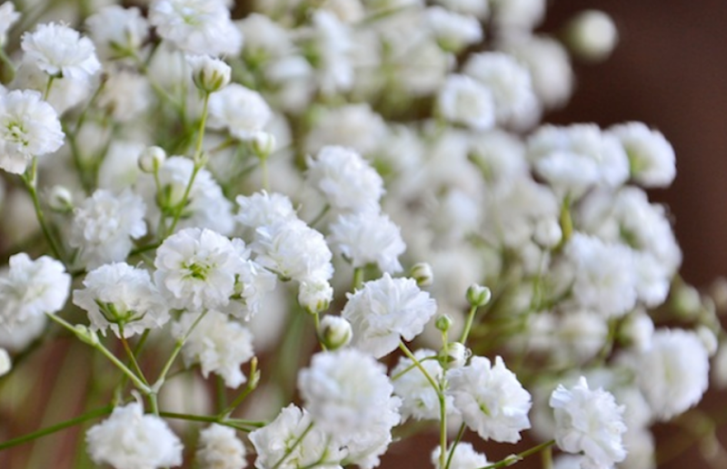 Baby's Breath: Back to the Limelight of Being a Star Flower