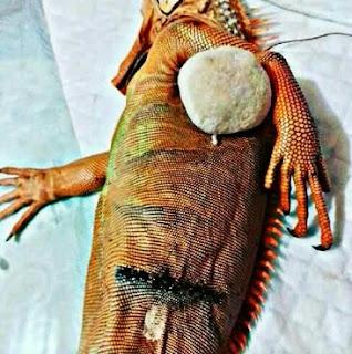 operasi Penyakit Bladder Stone Pada Iguana