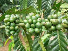 All about Green Coffee- Health Benefits, Side-effects and how to drink green coffee: Njkinny's Blog