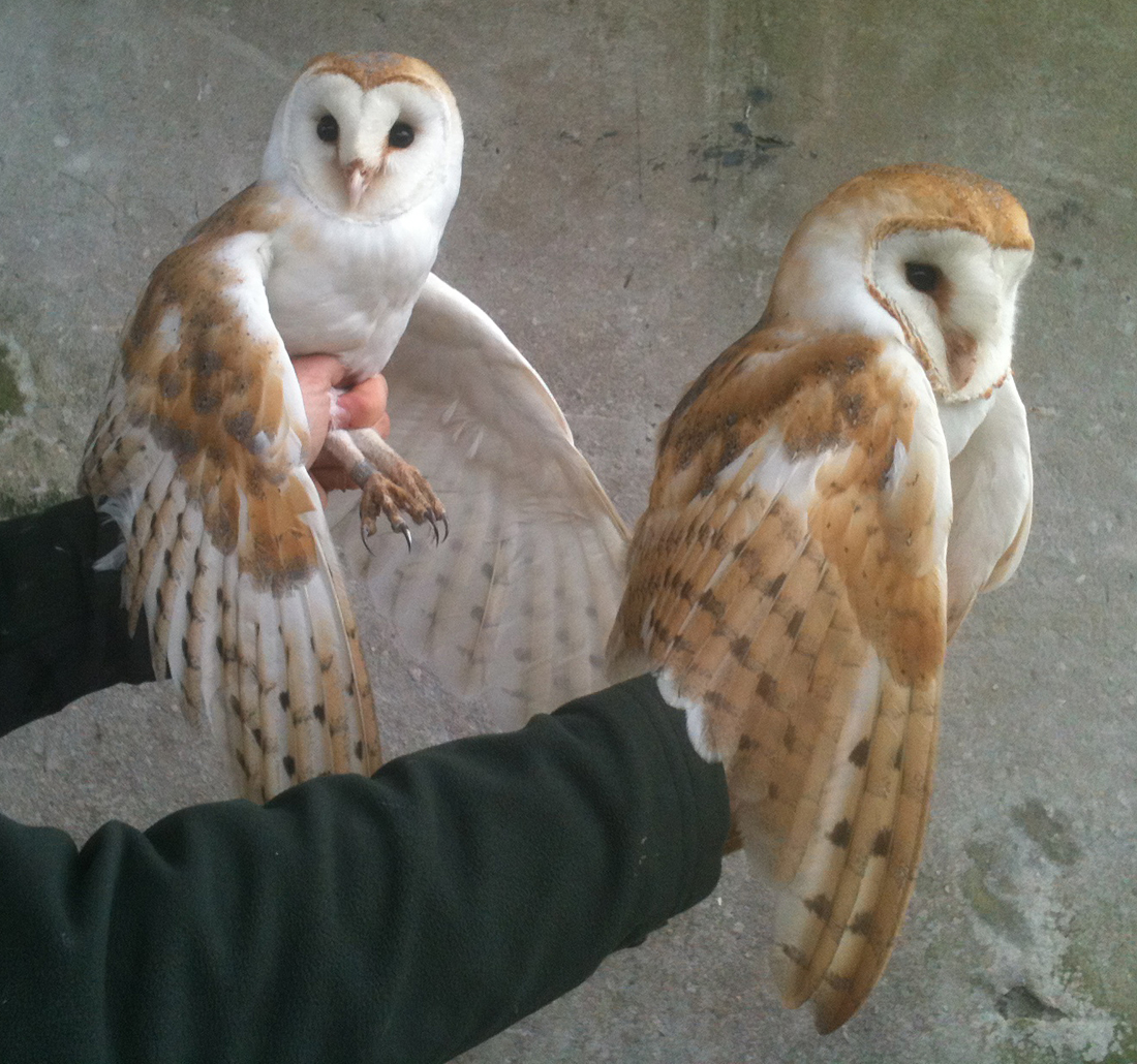 Duhallow Raptor Conservation Project: Barn Owl pair gives ...