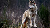 Wolf photos_Canis lupus