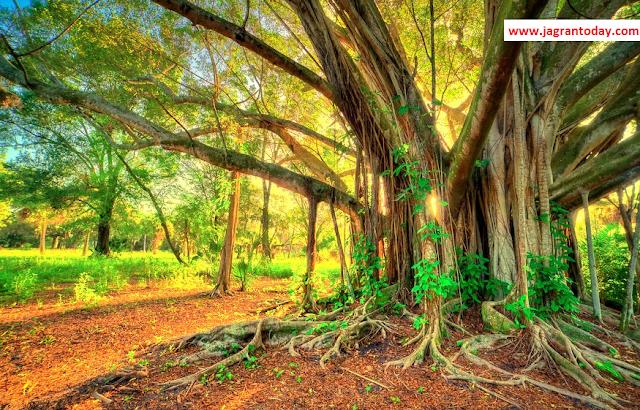एक वरदान है बरगद का पेड़