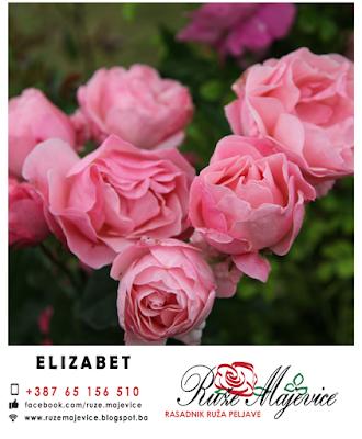 Roze ruža Elizabeth floribunda
