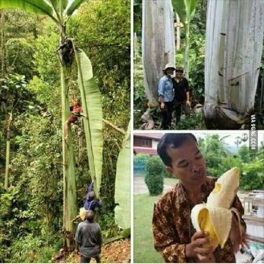 Masya Allah, Pisang Raksasa Ini Batangnya Setinggi 25 Meter, Buahnya Seberat 60 Kg dan Asli Tumbuh di Indonesia