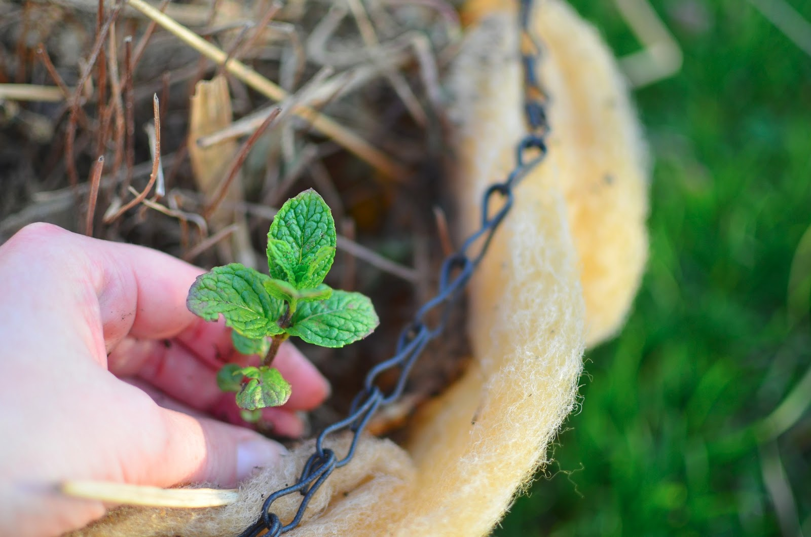 Grow Mint from a BEAT UP Hanging Basket or in Simple Window Boxes