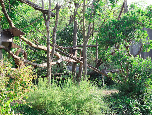 lémurien zoo de vincennes