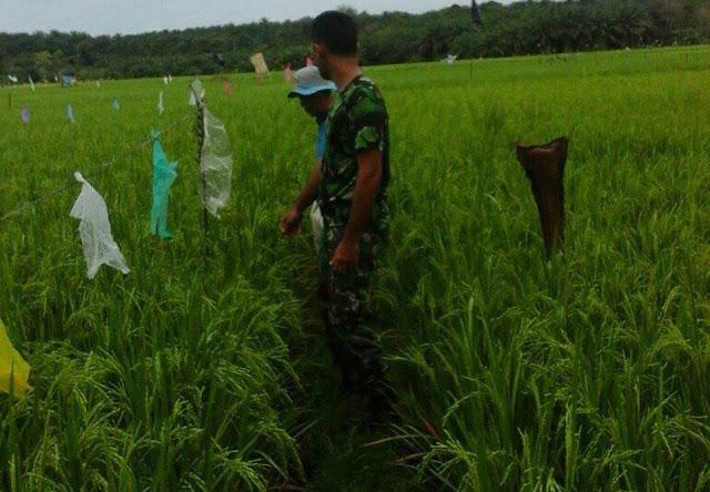 Tentara ini Dampingi Petani Halau Burung di Kecamatan Kuala, Langkat
