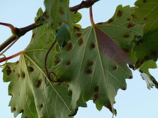 удаление поврежденных листьев