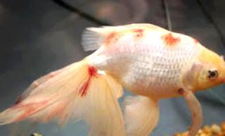 Gambar ikan mas koki sakit