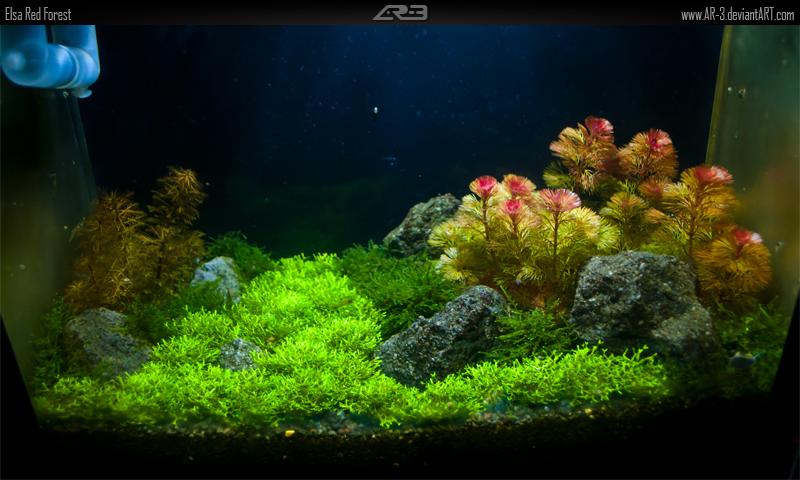 la hán đỏ thêm sắc màu lung linh cho hồ thủy sinh của bạn