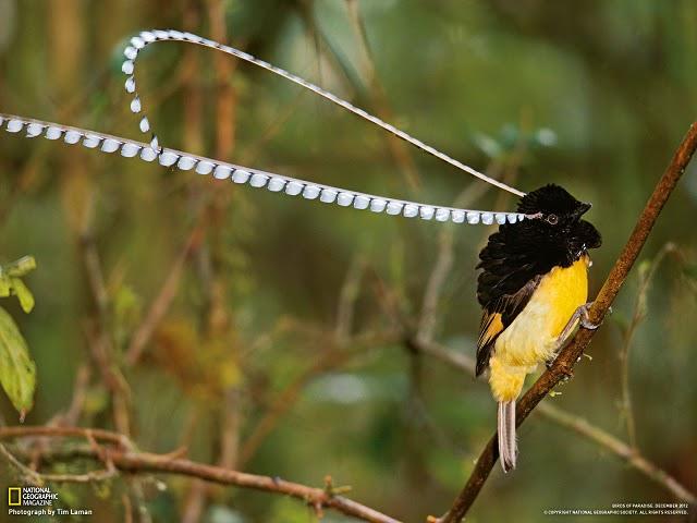 50 Koleksi Gambar Burung Cendrawasih 12 Kawat Gratis