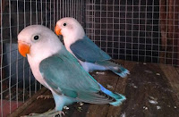 Jenis Dari Burung Lovebird Sable Head ( Kepala Elang )