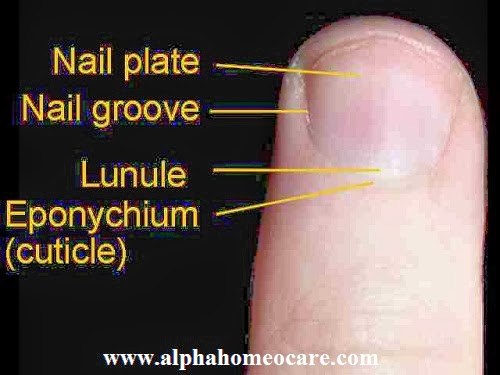Anatomy of Nails