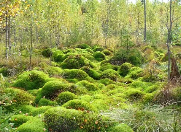 мшанник на болоте