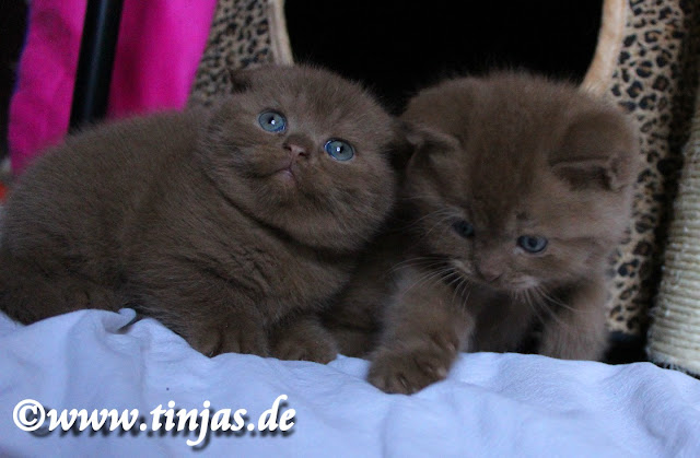 Scottish Fold Ktten cinnamon