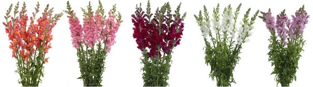 Different Snapdragon Colors