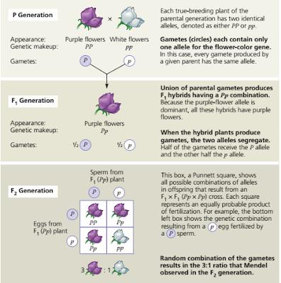 Pemisahan alel, segregasi alel pembentukan gamet, hukum mendel 1, hukum segregasi tentang pemisahan alel, mengapa terjadi pola pewarisan 3 : 1