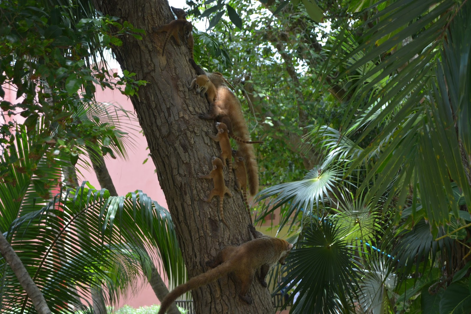 Coati, coatimundi, travel, wildlife, babies, travel, mexico, traveling, holiday, playa del carmen, playacar, riu tequila