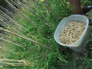 Tuscany, bean harvest; the beans of Sorana; fagioli di Sorana