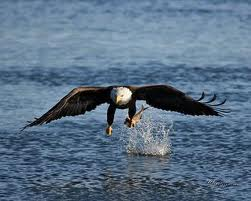 Eagle Doing The Breast Stroke