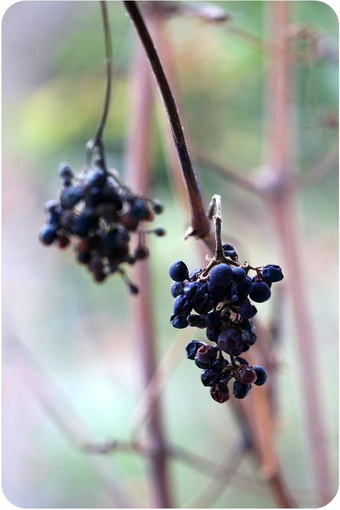 Vertrocknete Weinrebe | Arthurs Tochter Kocht von Astrid Paul