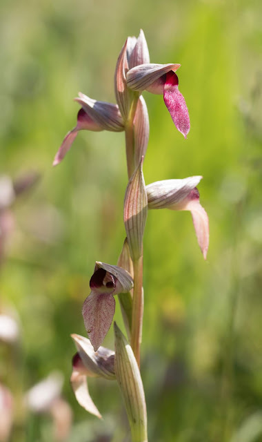 Greater Tongue Orchid - Tiptree, Essex