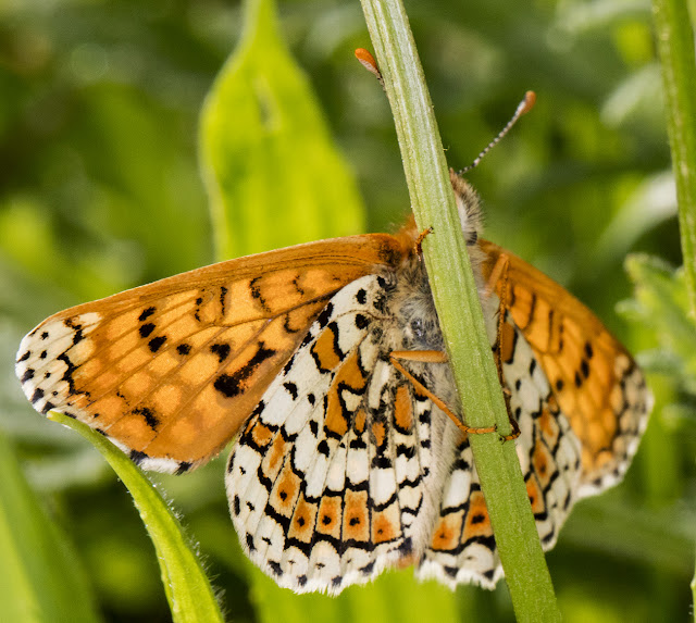 Glanville Fritillary, Melitaea cinxia.  Male.  Hutchinson's Bank, 24 May 2016.