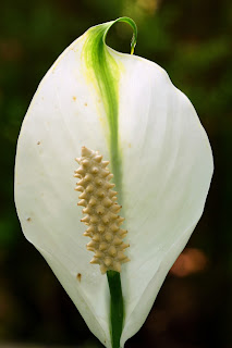 Peace Flower in Puriscal