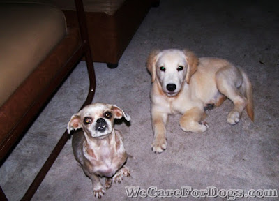 Princess the hairless Shih-tzu and Mhershey the 3-month old golden retriever - their first and last photo together