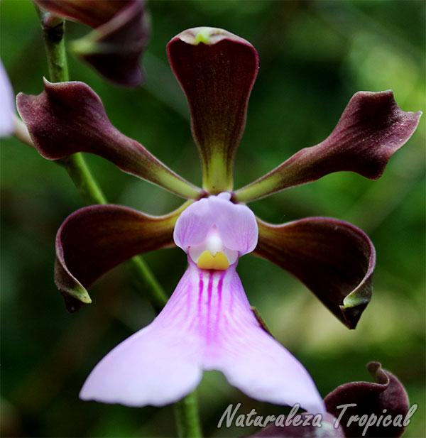 Flor característica de la orquídea Encyclia cordigera