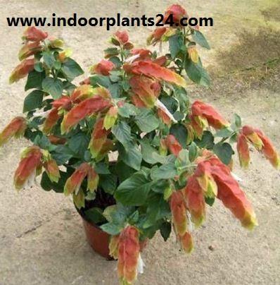JUSTICLA brandegeana) Acanthaceae FHRIMP indoor PLANT picture