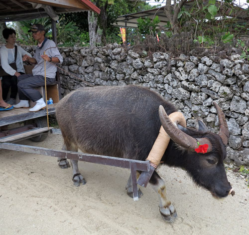 Taketomi Water Buffalo Carts, Okinawa, Japan